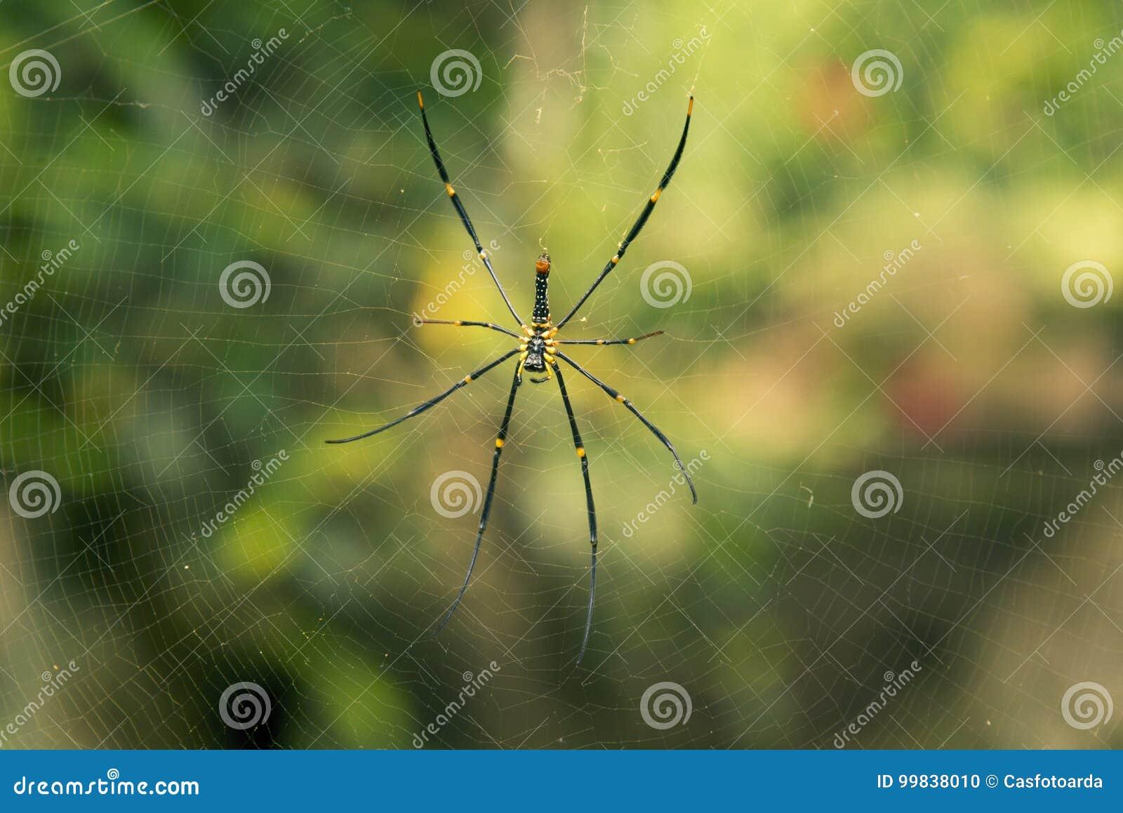 Spinne auf einem Spinnenweb