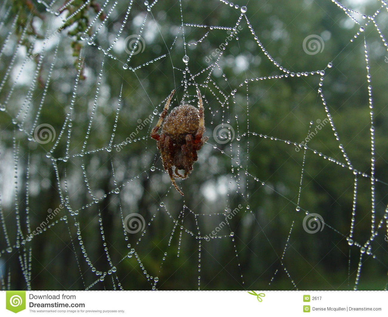 Spinne in befeuchtetem Web