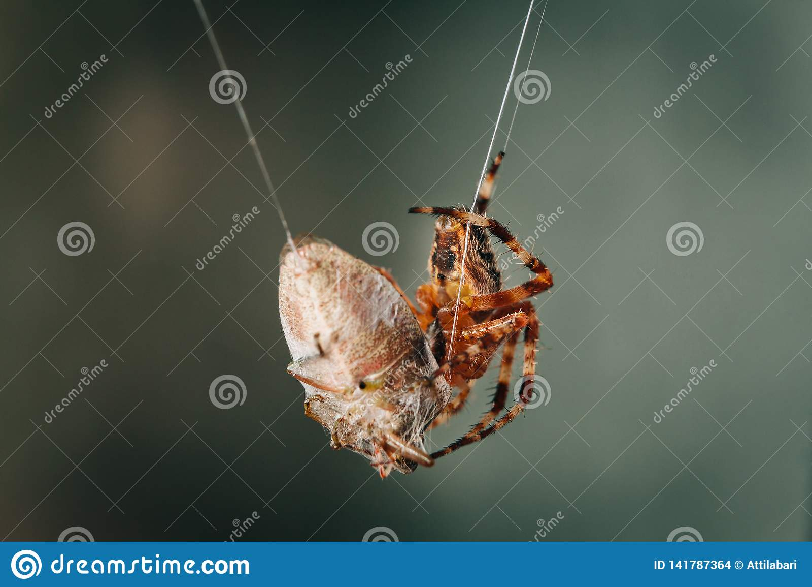 Spinne isst die aufgefangene Wanze