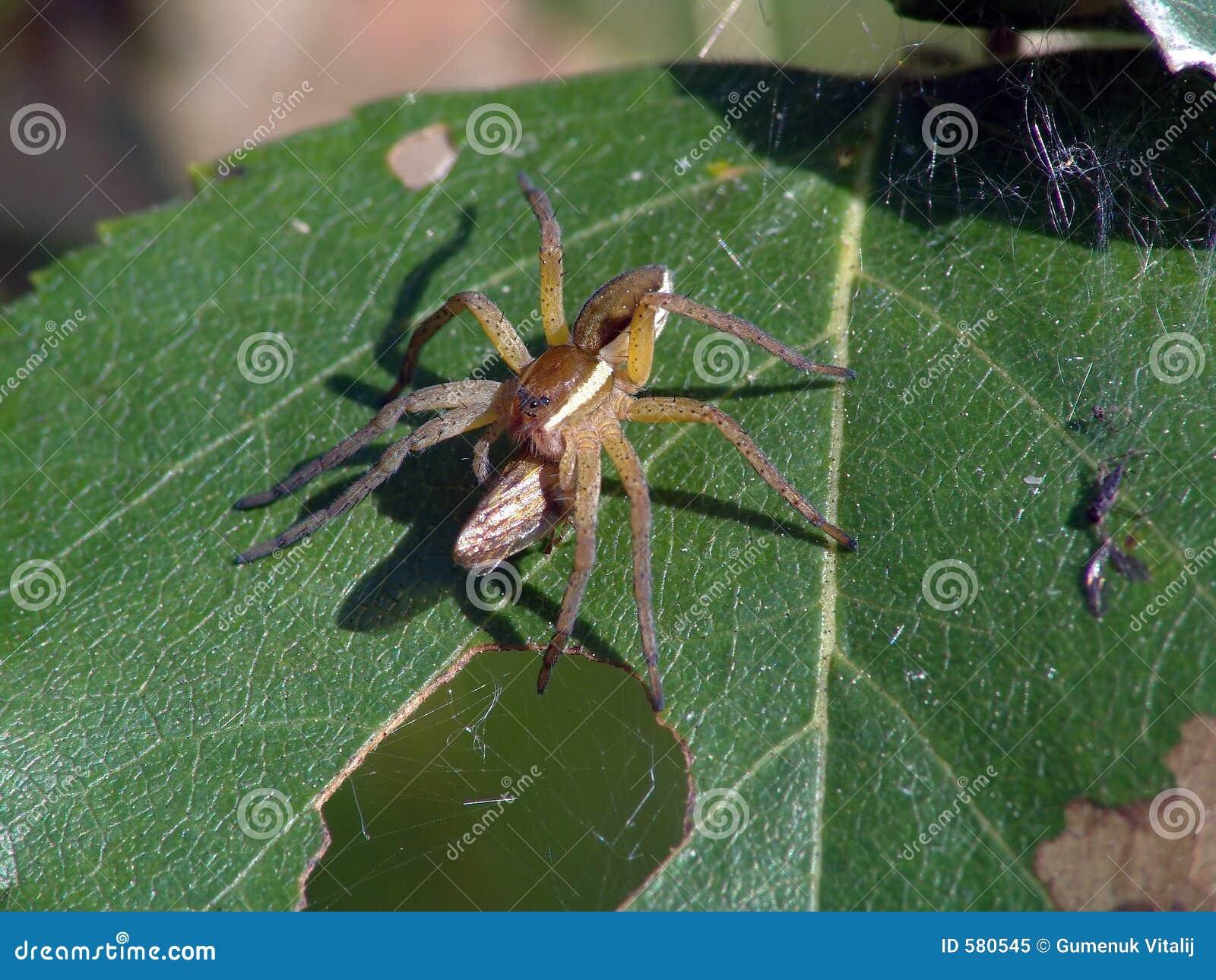 Spinne-Jäger mit einer Trophäe