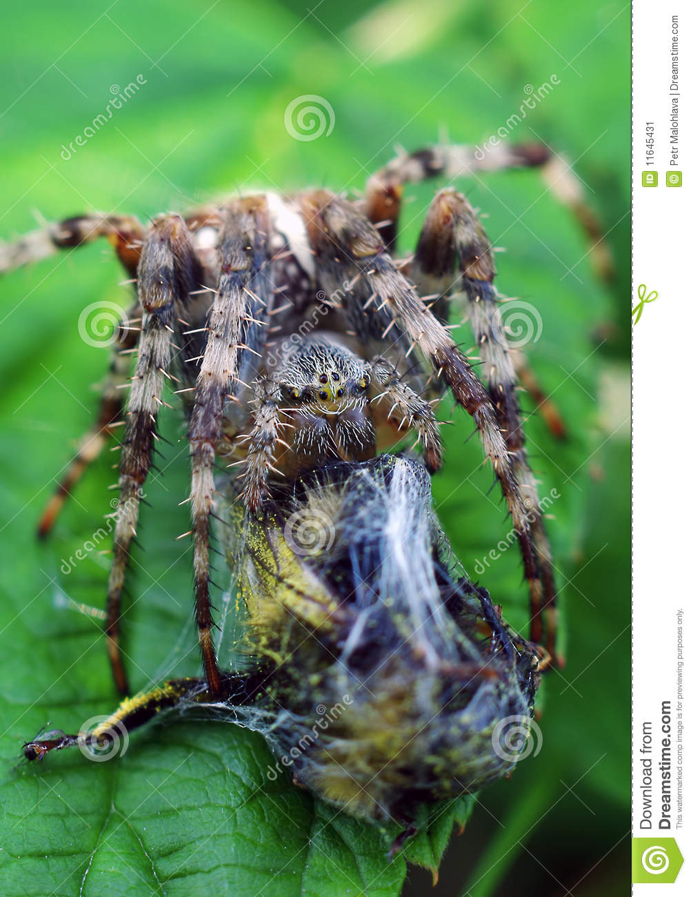 Spinne mit Fang