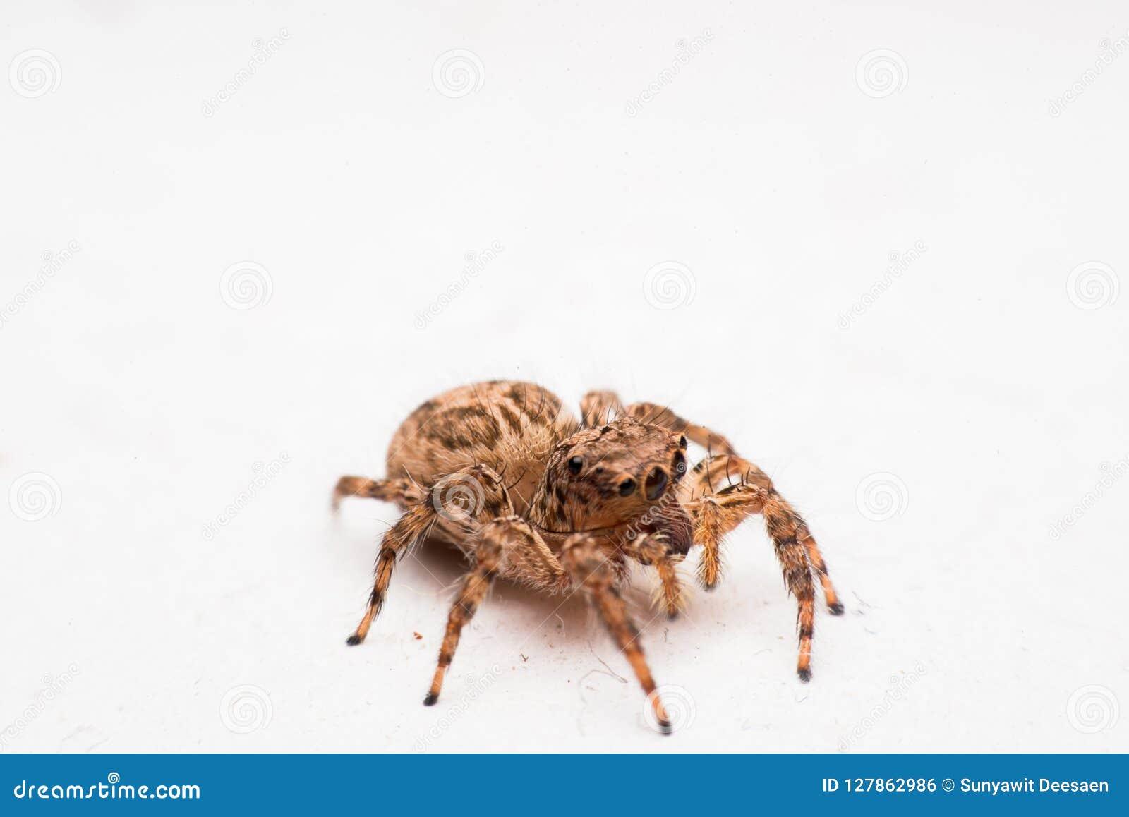 Spinne, springende Spinne auf Wand