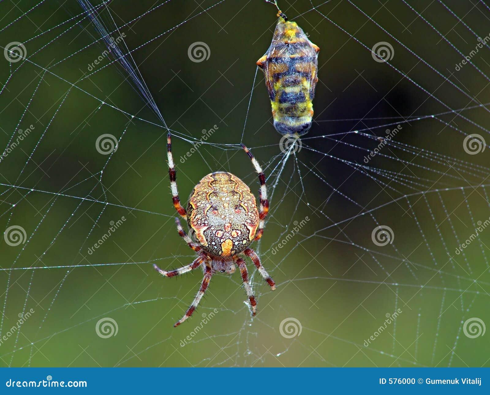 Spinne und sein Opfer.
