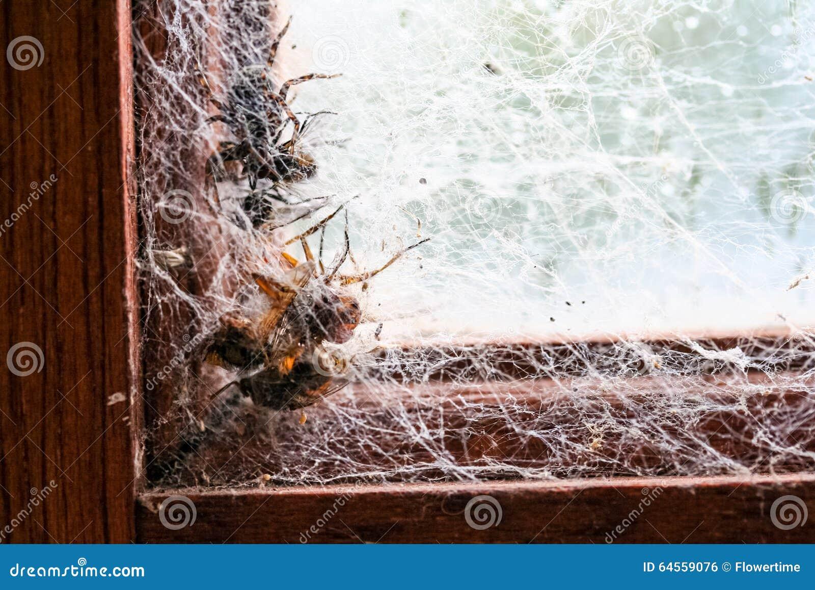 Spinne Und Vier Fliegen Fingen In Den Spinnennetzen Im Fensterrahmen ...