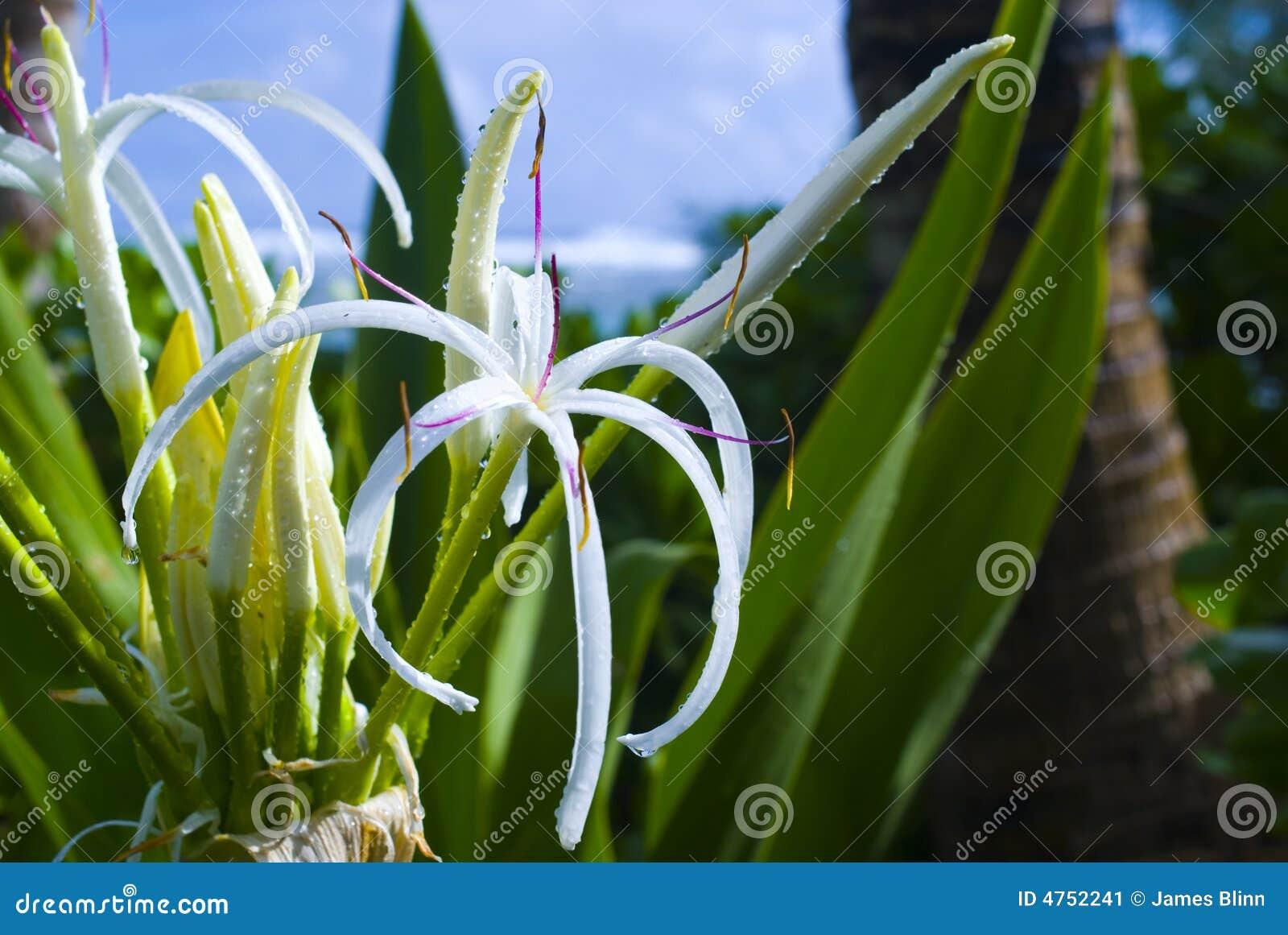Hawaii Spinnen