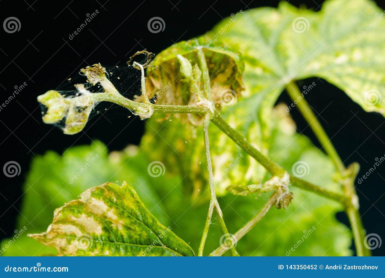 Spinnenmilbe schmarotzt auf den kranken und trockenen Traubenblättern, lokalisiert auf schwarzem Hintergrund