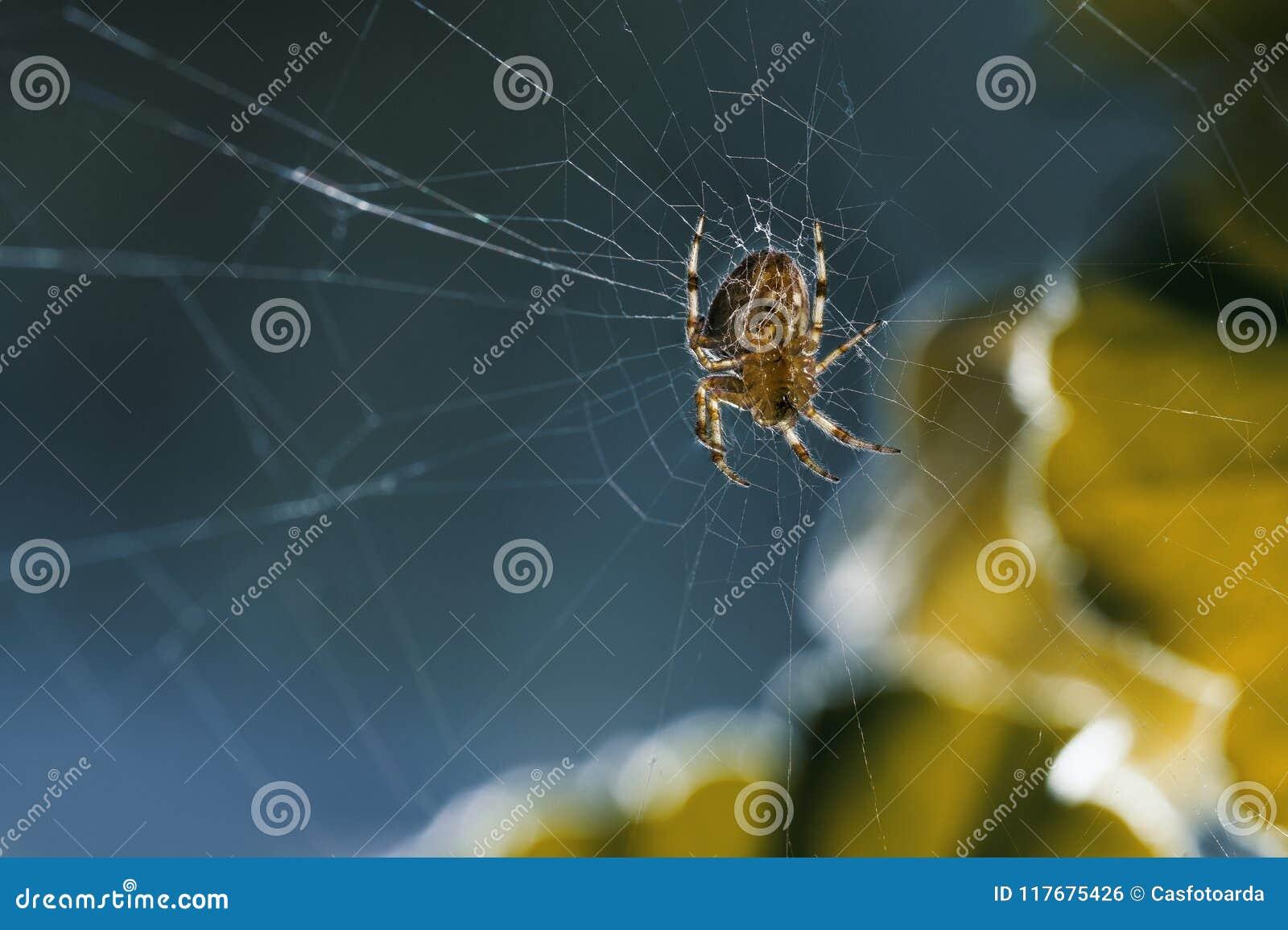 Spinnenmitte des Netzes