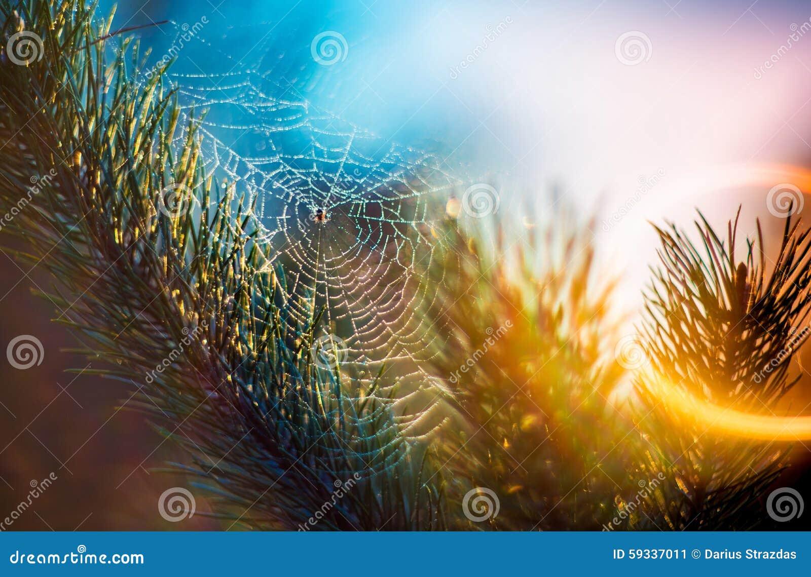 Spinneweb op pijnboom