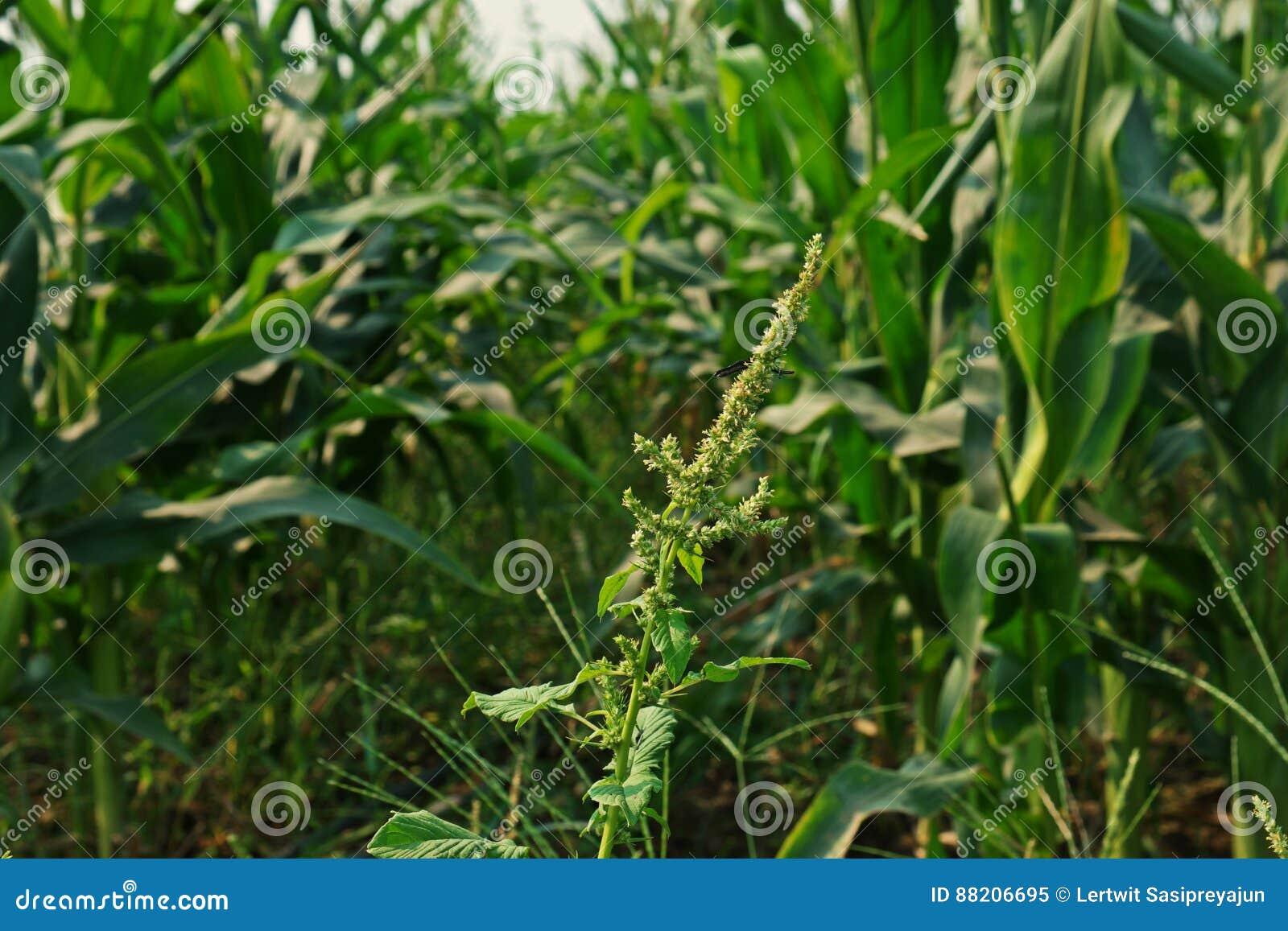 download spiny amaranth or spiny pigweedbroadleaves weed stock image image of pigweed
