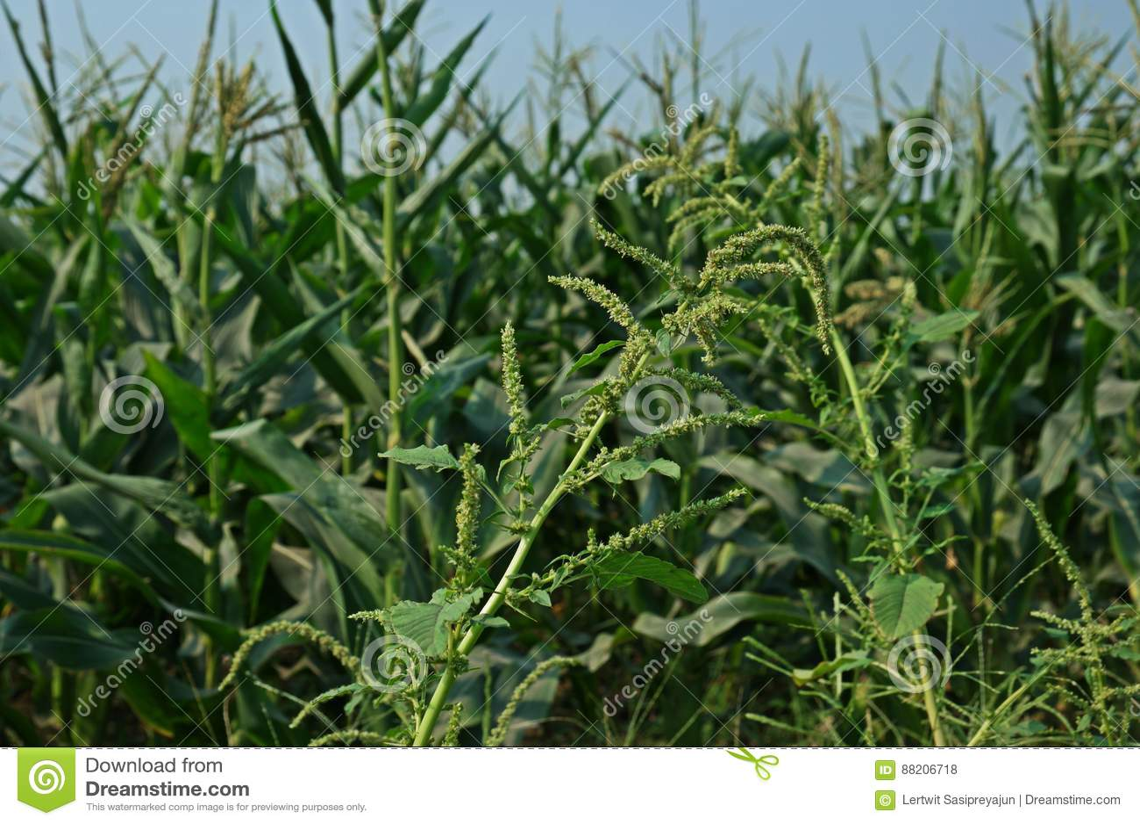 spiny amaranth or spiny pigweeda herbvegetable and broad leaf weed in agriculture filed