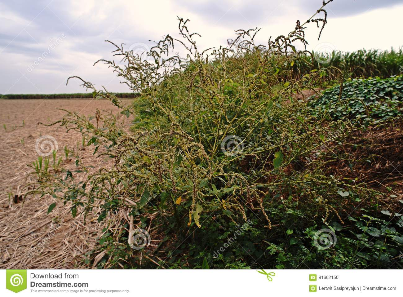 download spiny amaranth or spiny pigweedbroadleaves weed stock photo image of nature