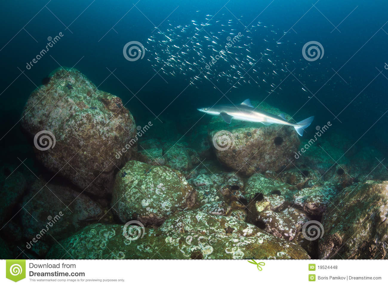 Spiny dogfish shark gaggle of fish fry royalty free for Fish dream meaning pregnancy