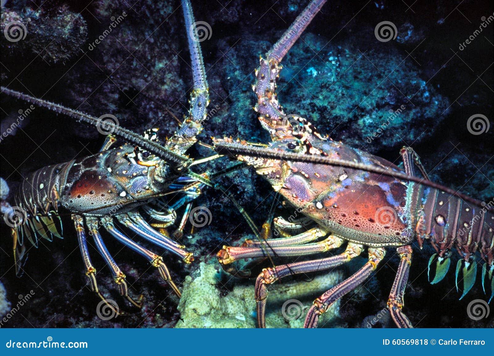 Spiny homar