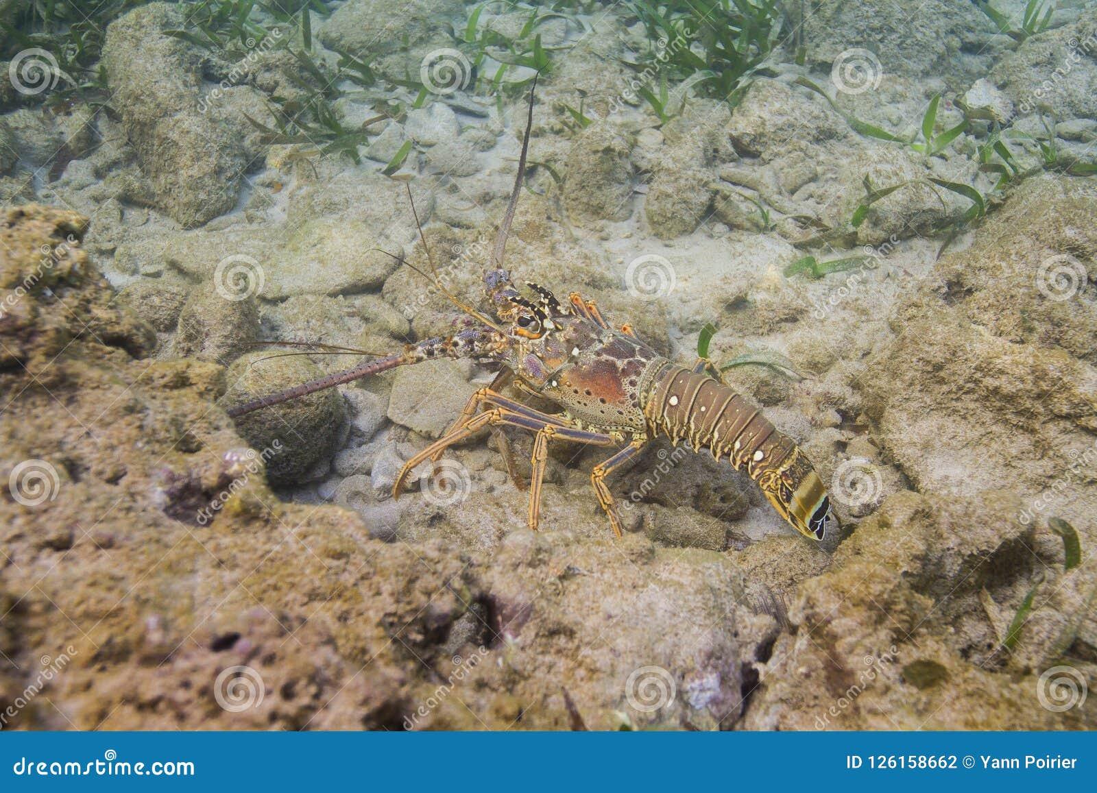 Spiny karibisk hummer