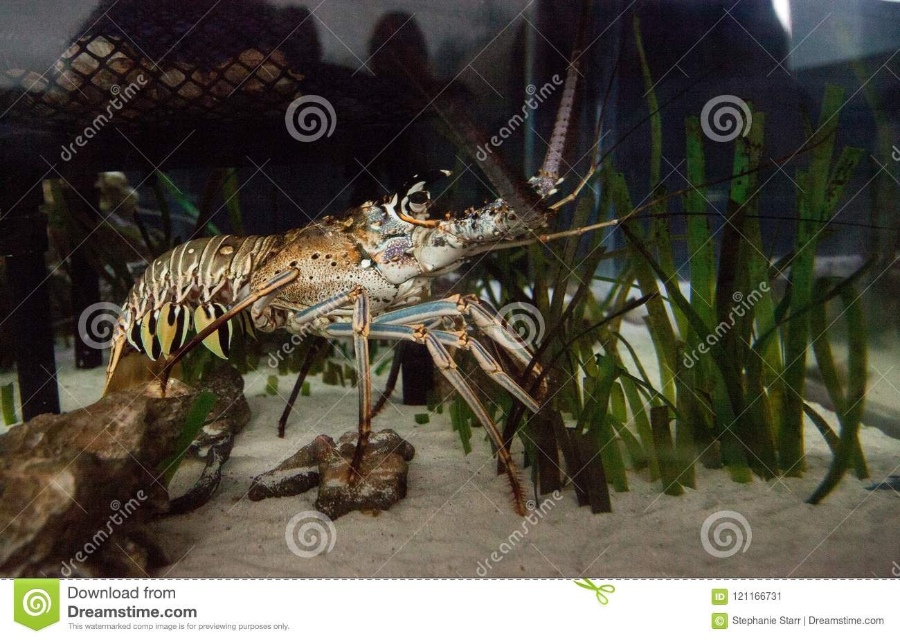 Spiny lobster also called rock lobster Palinuridae forages