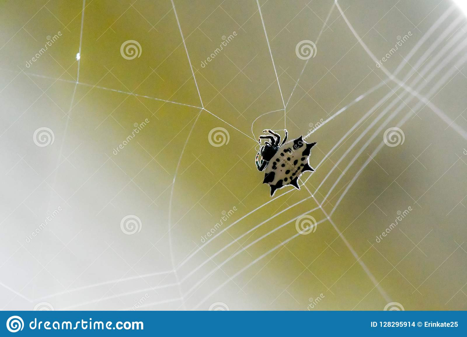 Spiny podparty tkacza pająk wyplata swój sieć, Marietta, Gruzja, usa