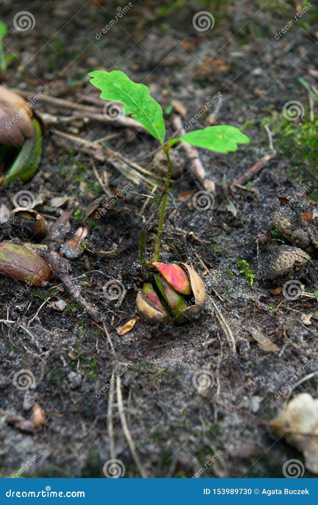 Spira i en skog från den lilla ekollonen som väldiga ekar växer