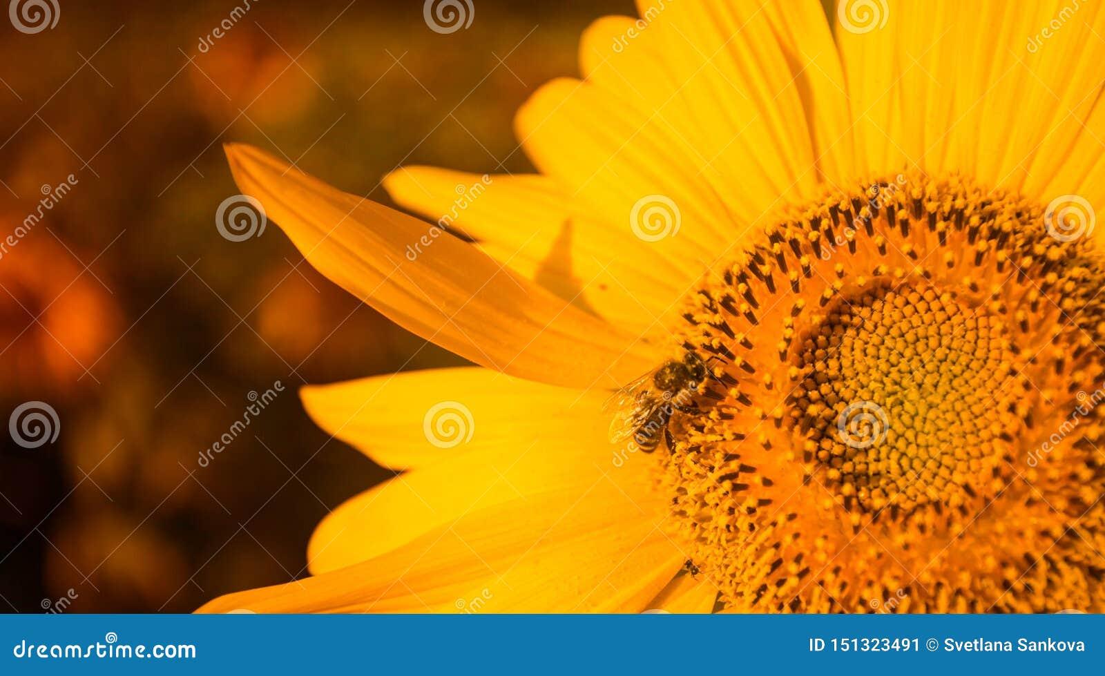 Spiraalvormig patroon in centrum van zonnebloem dichte verschijnende mooie textuur