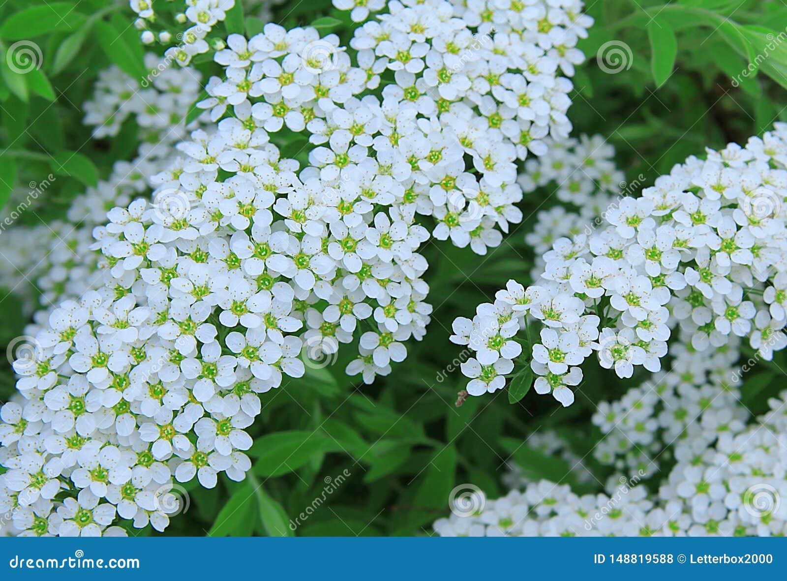 Spiraea blanco Peque?as flores blancas Ramificaci?n floreciente D?a de verano en el jard?n