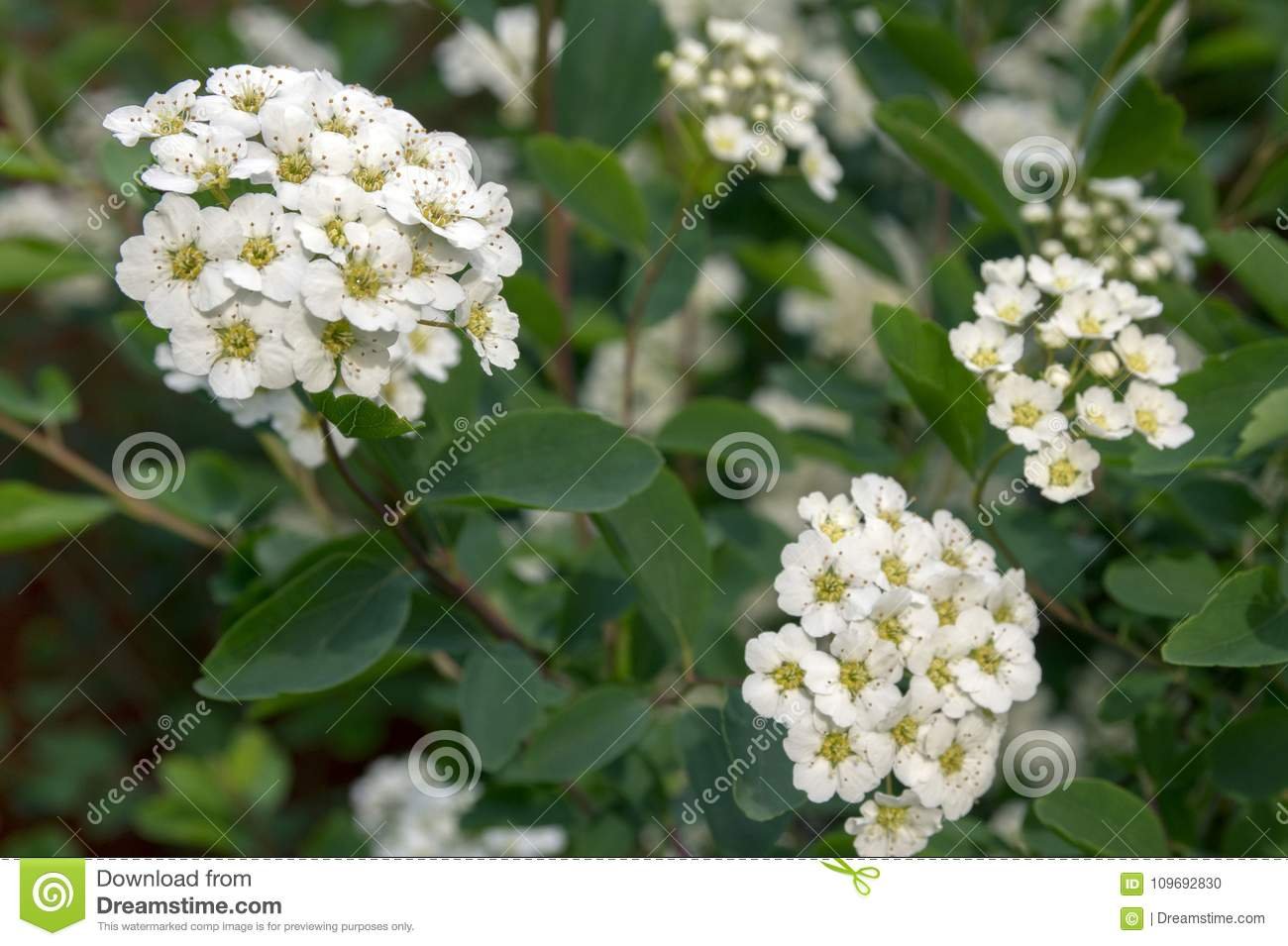 Spiraea Cantoniensis In Bloom White Flowers Stock Photo Image Of