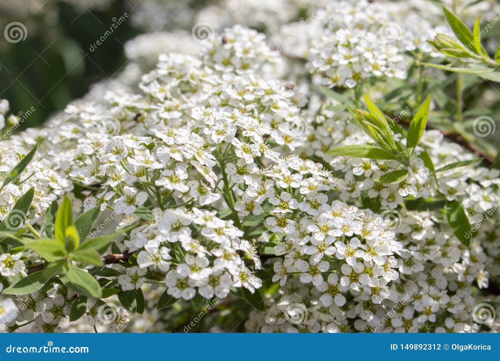 Spiraea cinerea ashy mali biali kwiaty w górę tekstury kwiecistego tła, Kwitnący ornamentacyjny krzaka Rosaceae, pliki biel