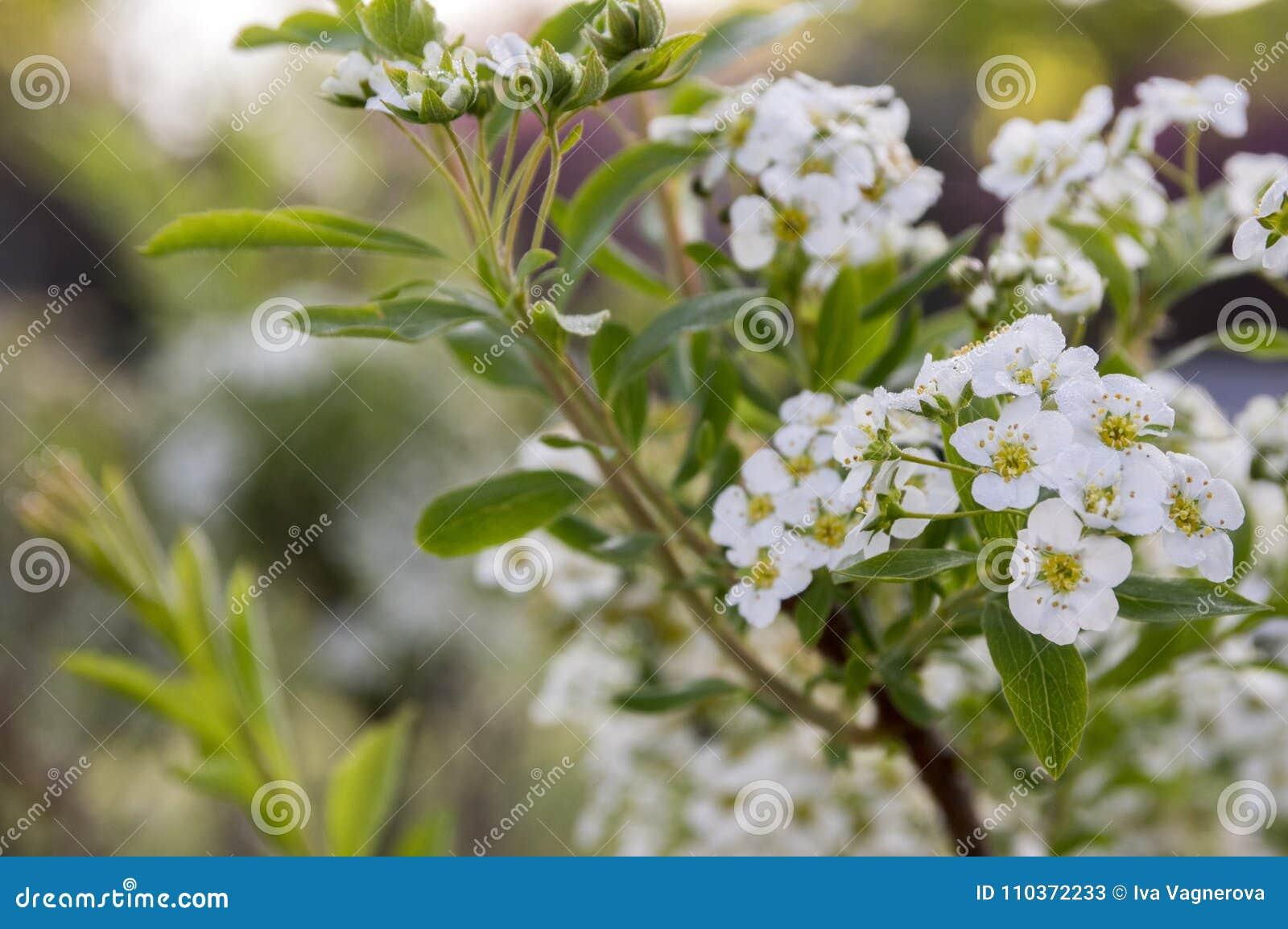 Spiraea Cinerea In Bloom Gray Grefsheim Shrub With White Flowers In