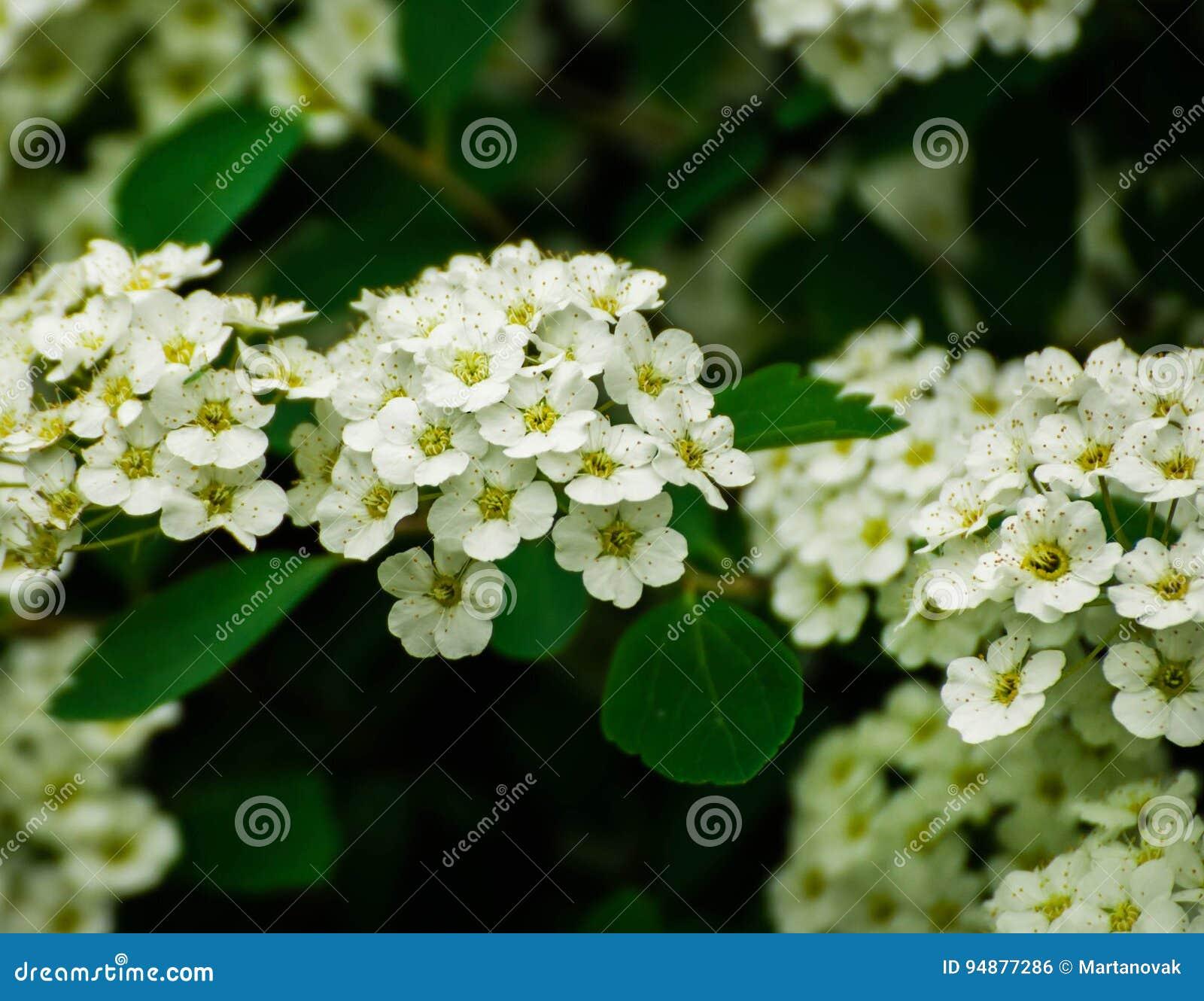 Spiraea With Small White Flowers Meadowsweet Flowerswhite Spiraea