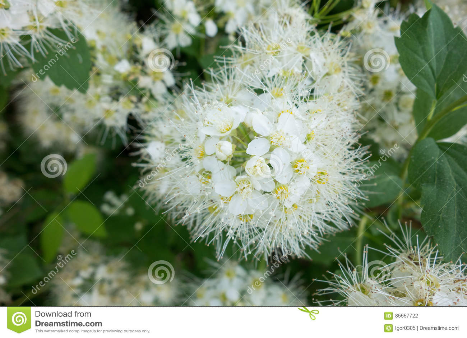 Spiraea Vanhoutei-Blumenbaum