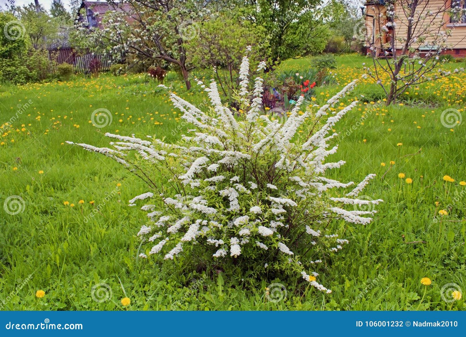 Spiraea White Flowering Shrub In Garden Stock Photo Image Of