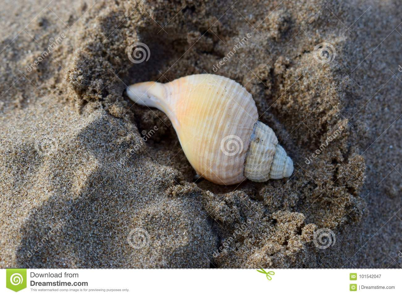 Spiral coiled sea shell