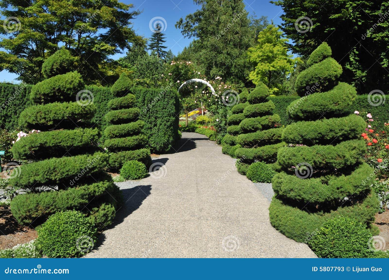 Spiral juniper trees in rose garden stock image image for Garden rose trees