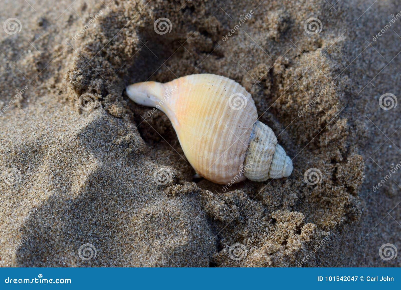 Spiral rullat ihop havsskal