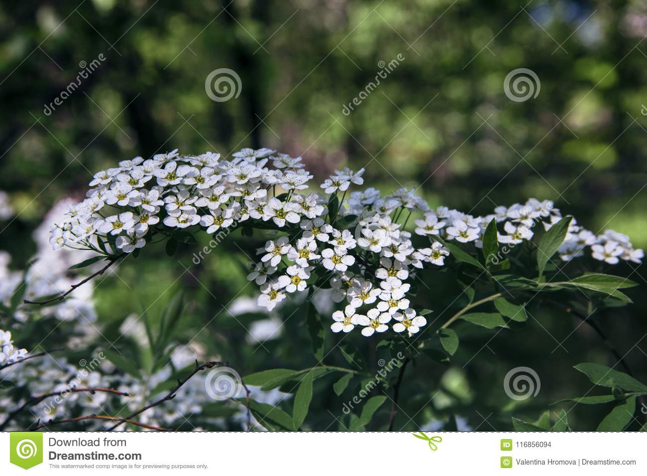 Spirea Branch With White Flowers Close Up Stock Photo Image Of