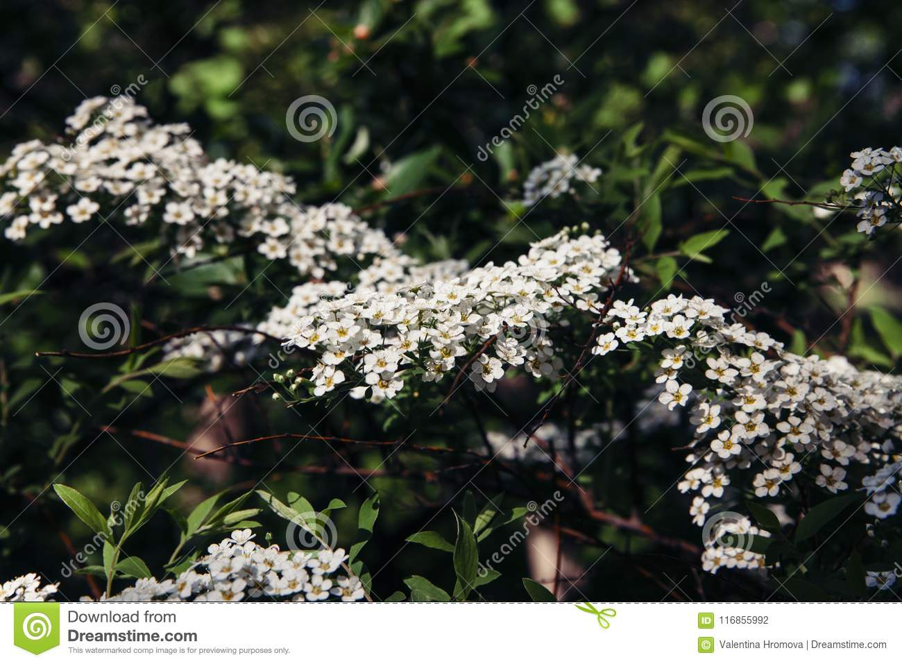Spirea Branches With Groups Of White Flowers Close Up Stock Photo