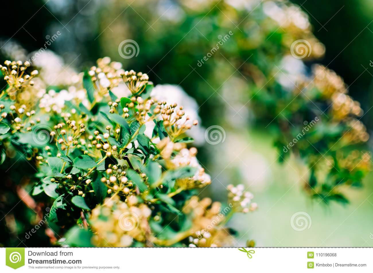 Spirea Bush White Flowers Closeup Stock Photo Image Of Cluster