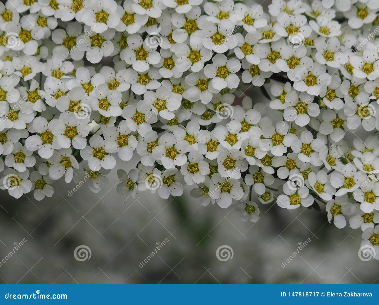 Spirea gris avec les fleurs blanches