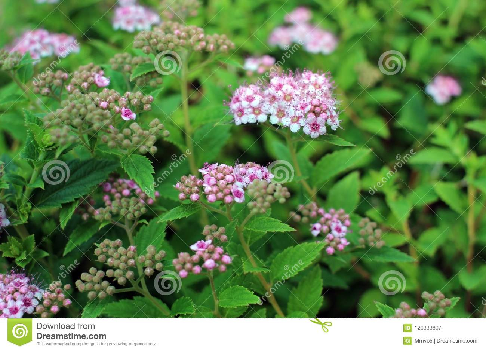 Spirea in summer garden blooming spirea bush with pink flowers spirea in summer garden blooming spirea bush with pink flowers mightylinksfo