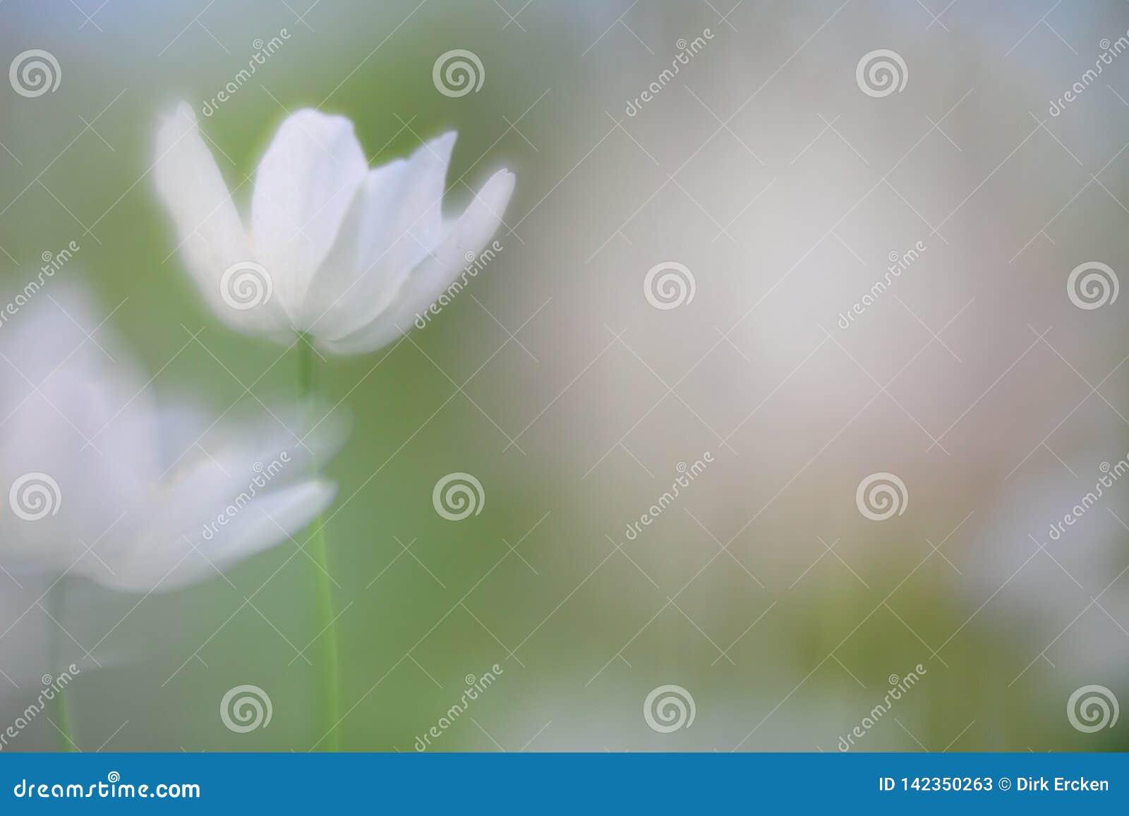 Spirito di un anemone di legno