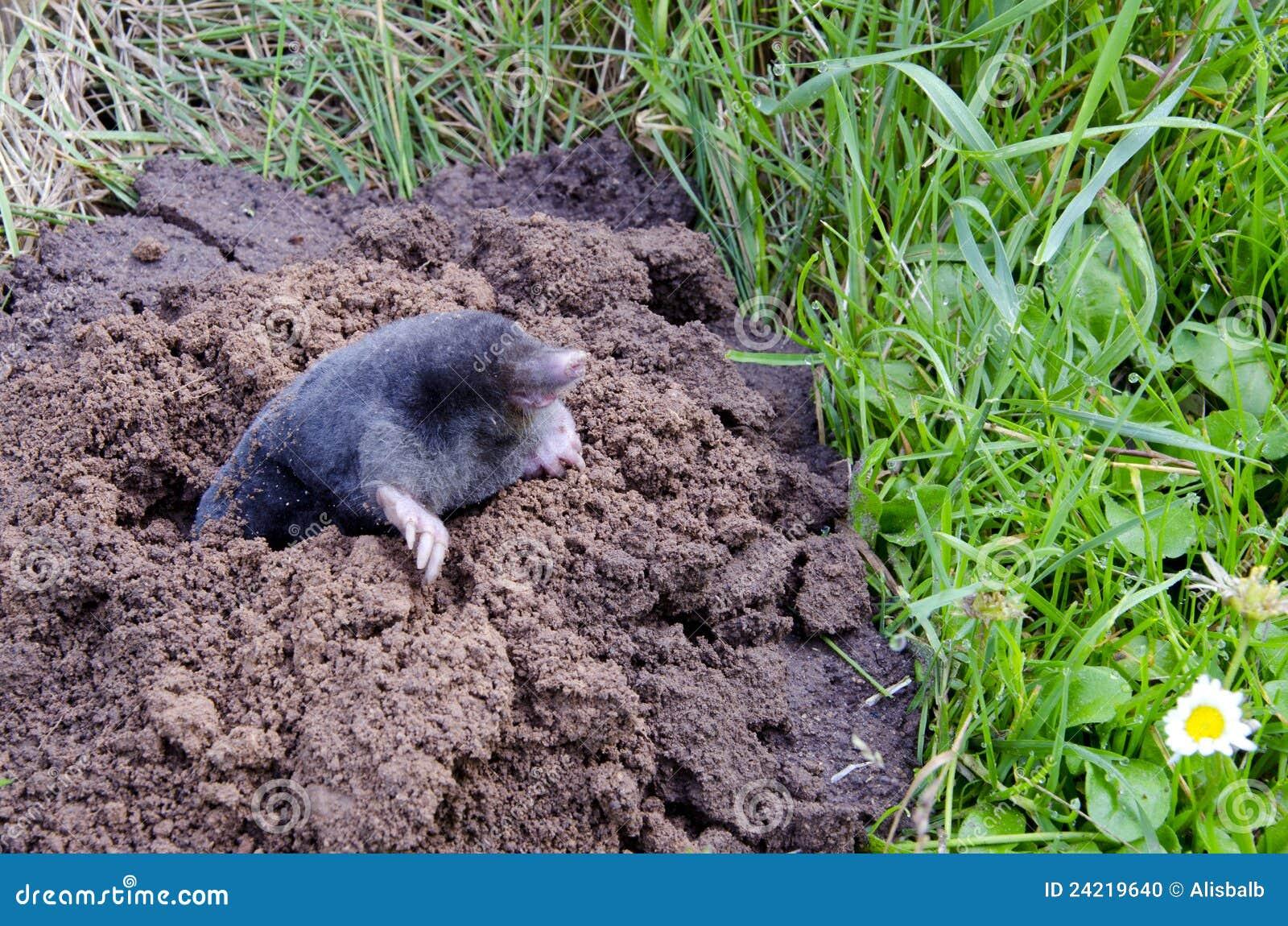 Spirng Mole And Molehill Stock Photo Image Of Animal