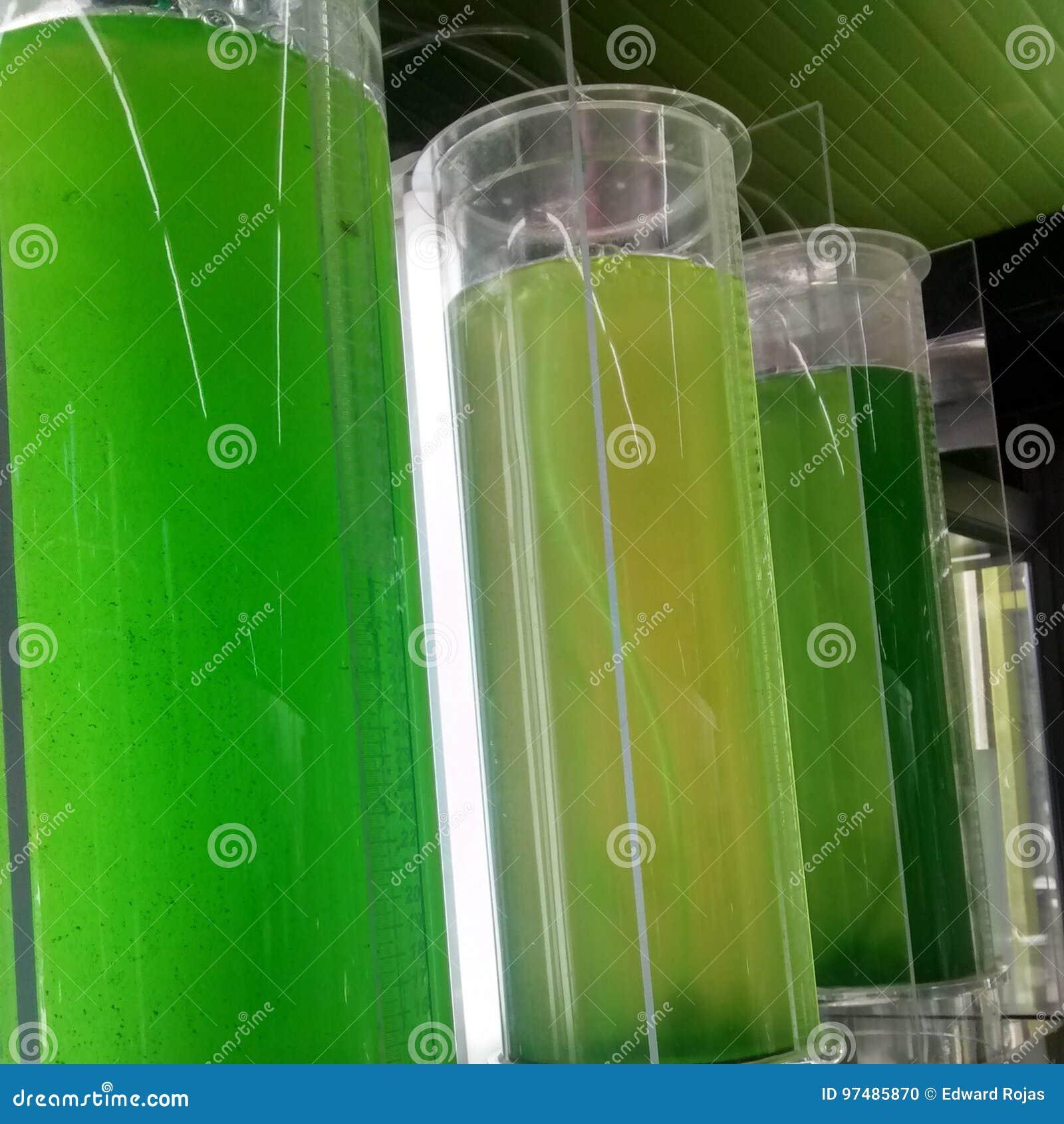 Spirulina delle microalghe