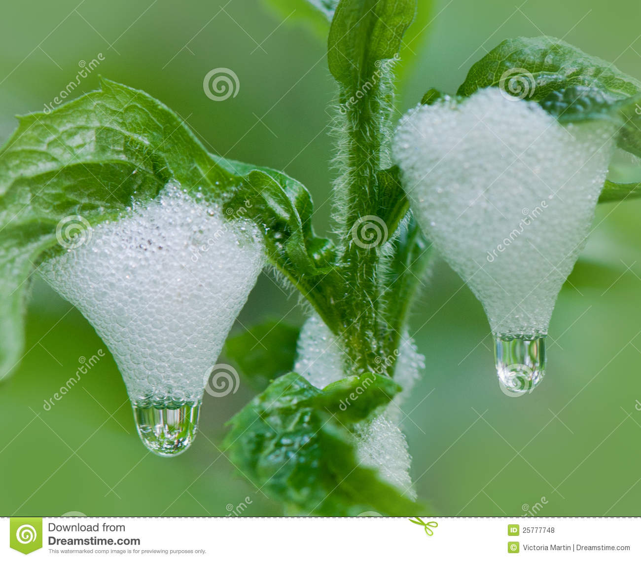 Download Spittlebug foam on grass stock photo. Image of animal - 25777748