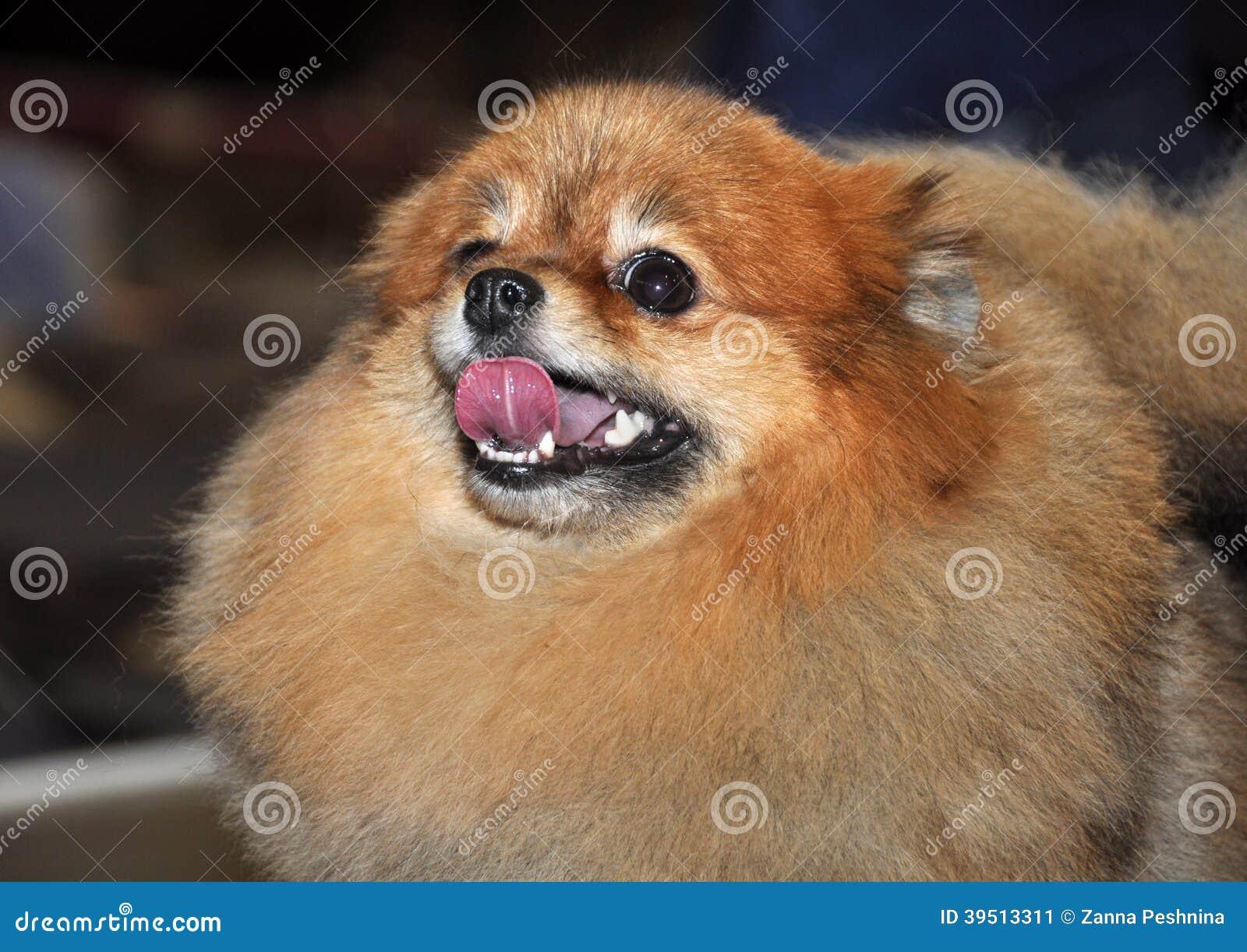 Spitz dog red