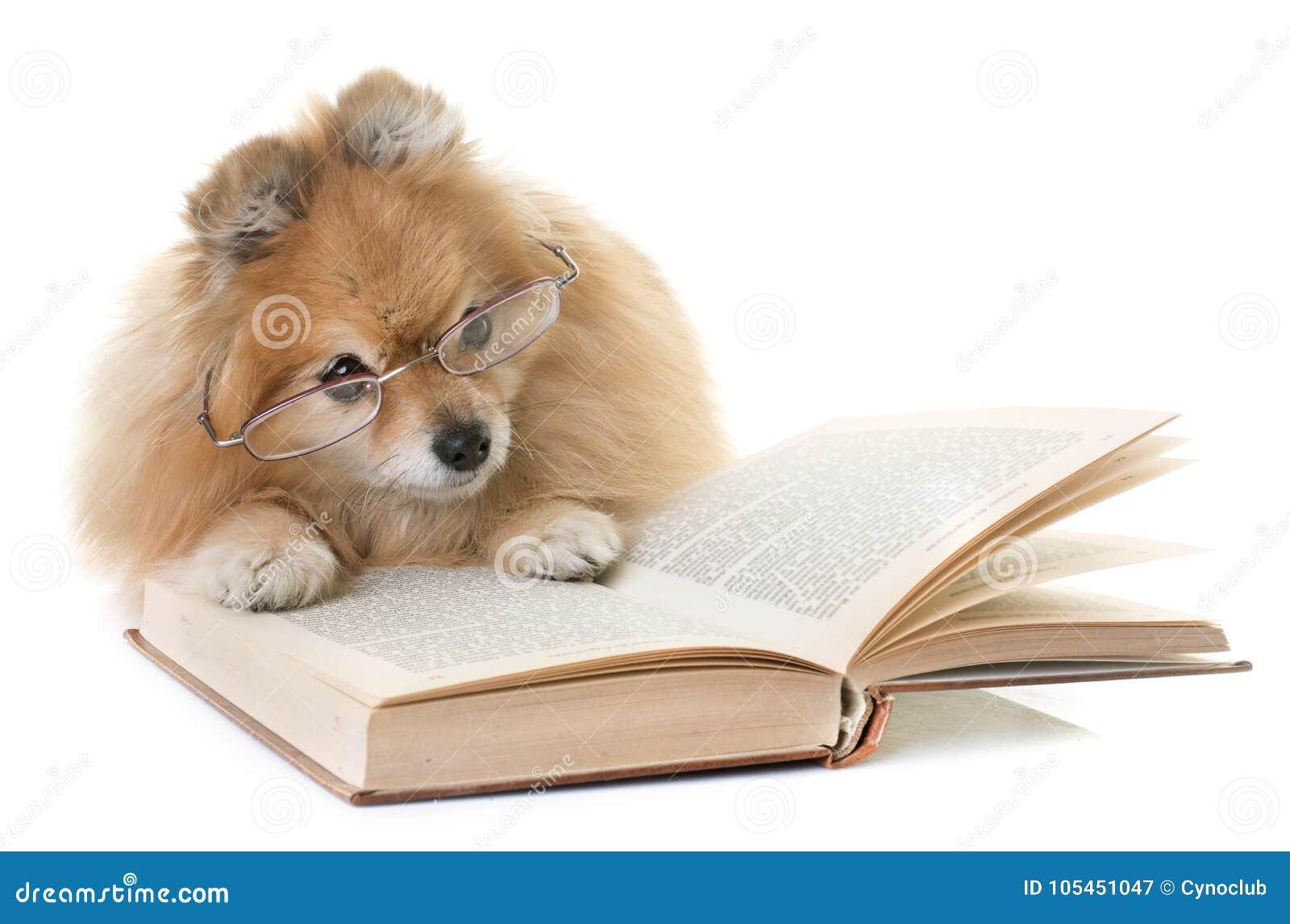Spitz et livres de Pomeranian