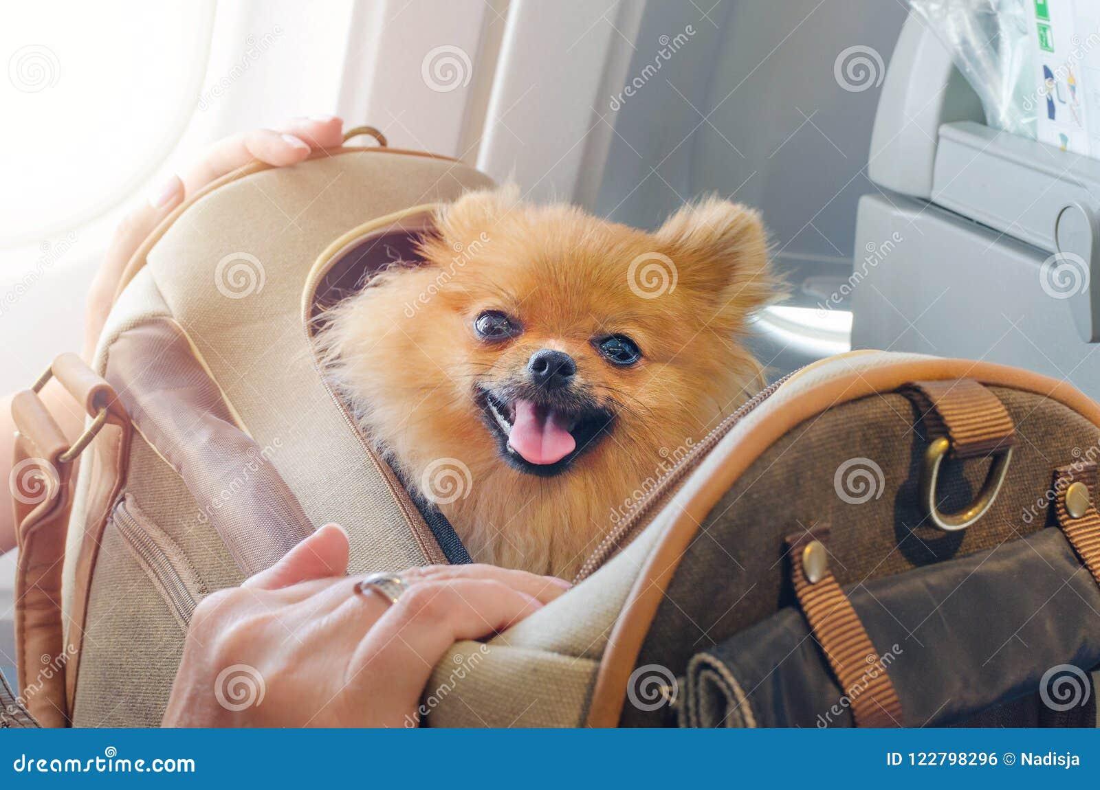 Spitz pomaranian do cão pequeno em um saco do curso a bordo do plano, foco seletivo