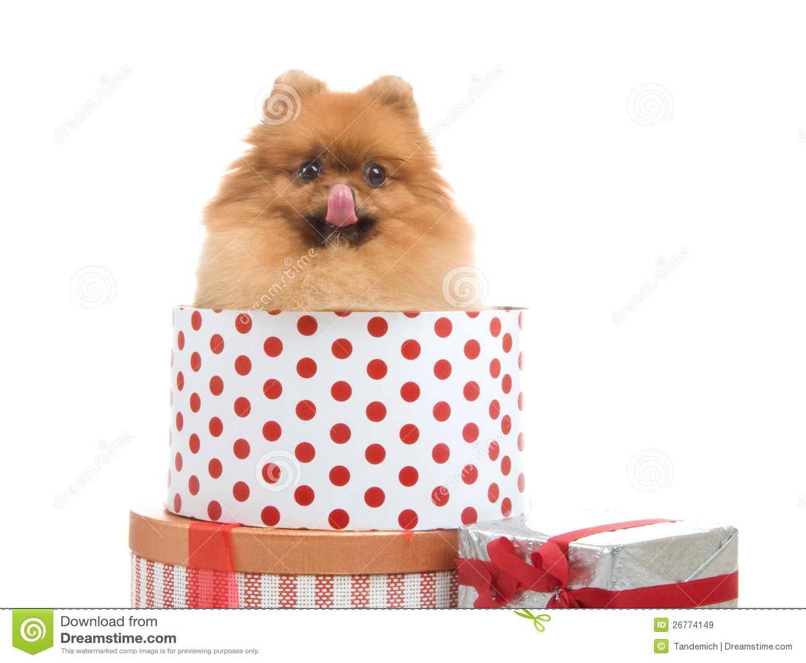 Spitz, Pomeranian Dog In Gift-box Royalty Free Stock Images ...