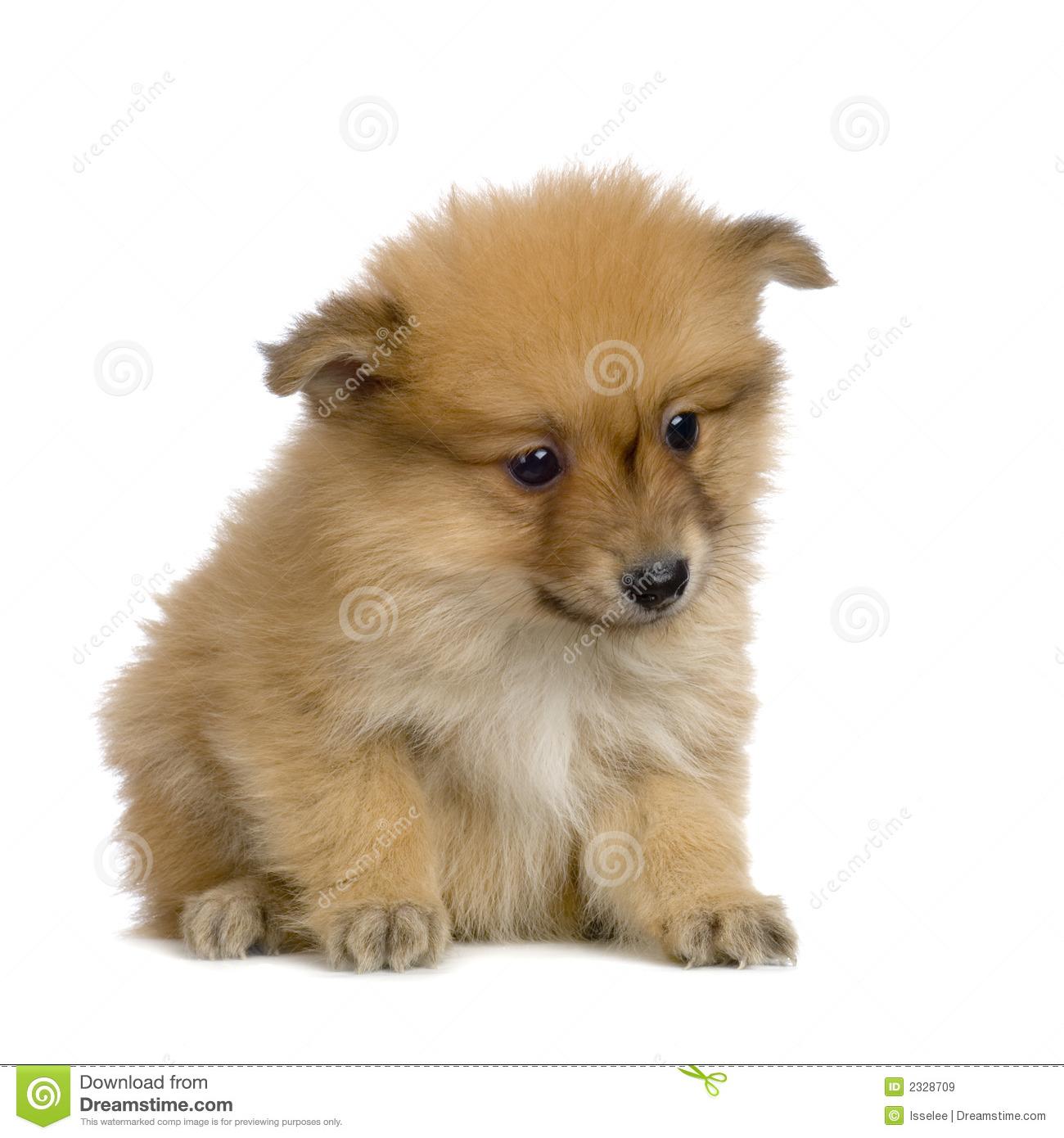 Spitz Puppy Royalty Free Stock Images Image 2328709