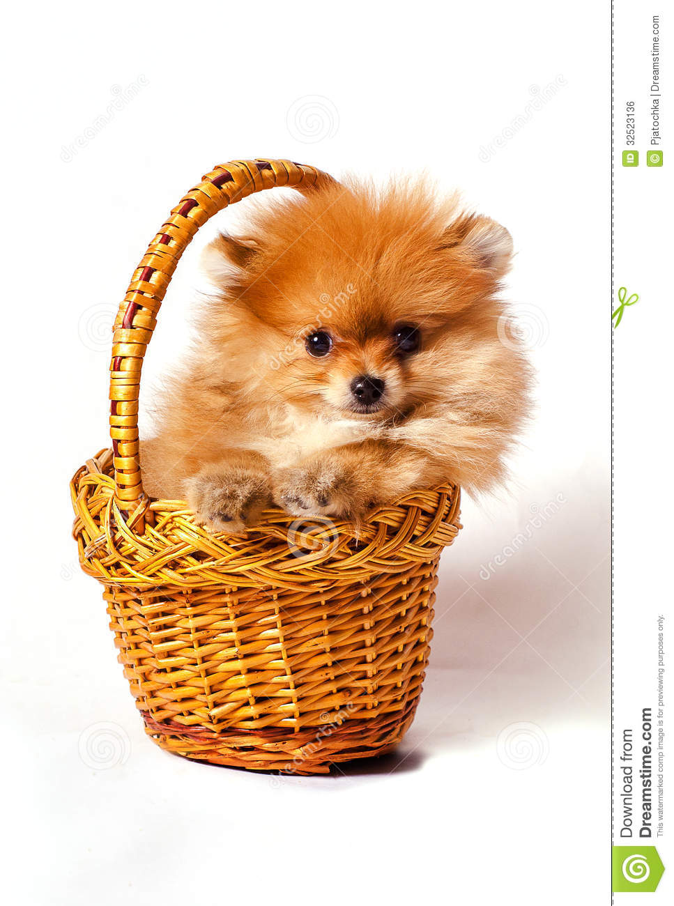 Spitz puppy in the basket