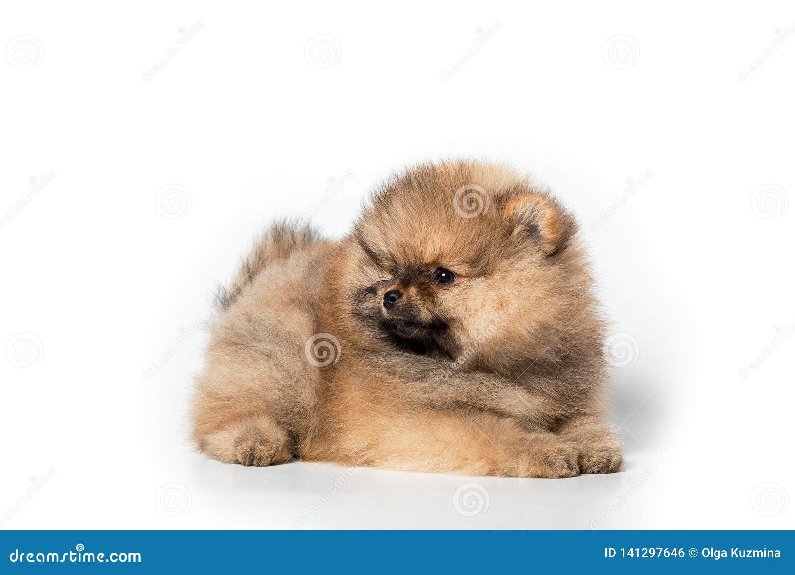 Spitz puppy on white background