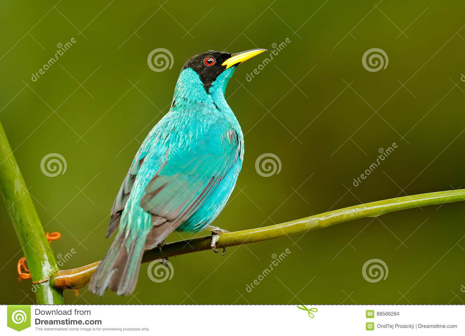 Spiza vert de Honeycreeper, de Chlorophanes, forme verte et bleue Costa Rica de malachite tropicale exotique d oiseau Tanager de