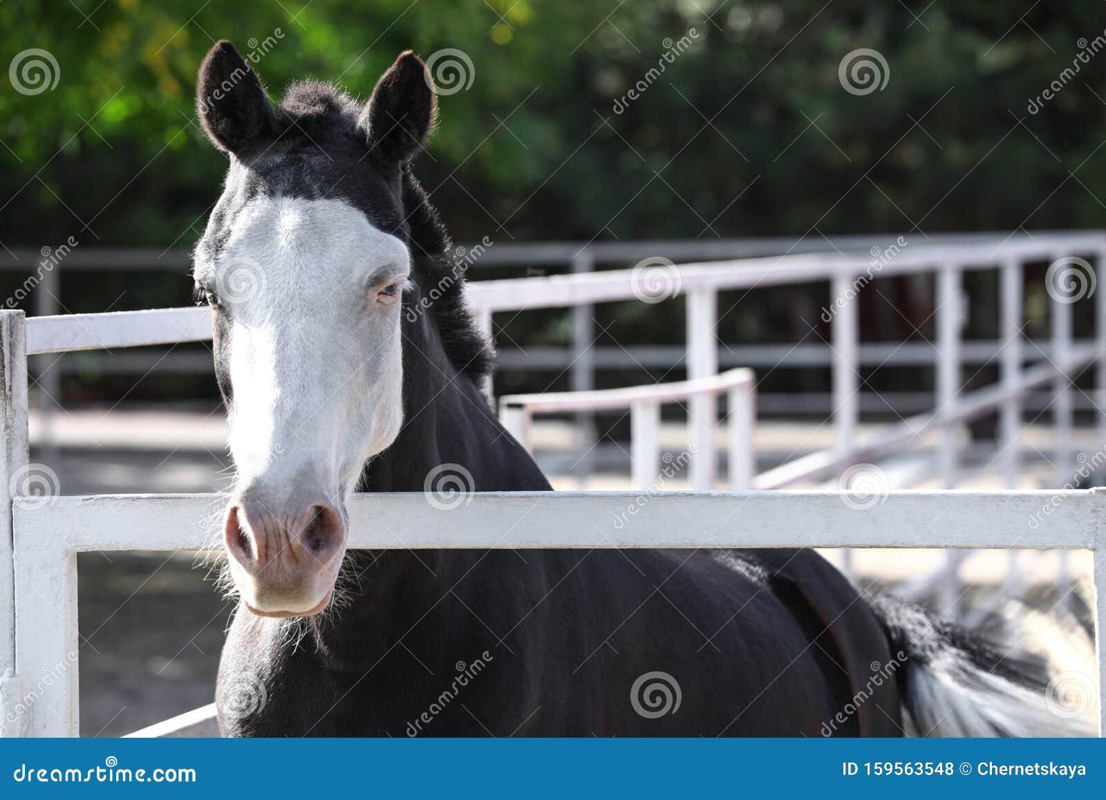 Splashed White Horse At Light Fence Stock Photo Image Of Creature Equine 159563548